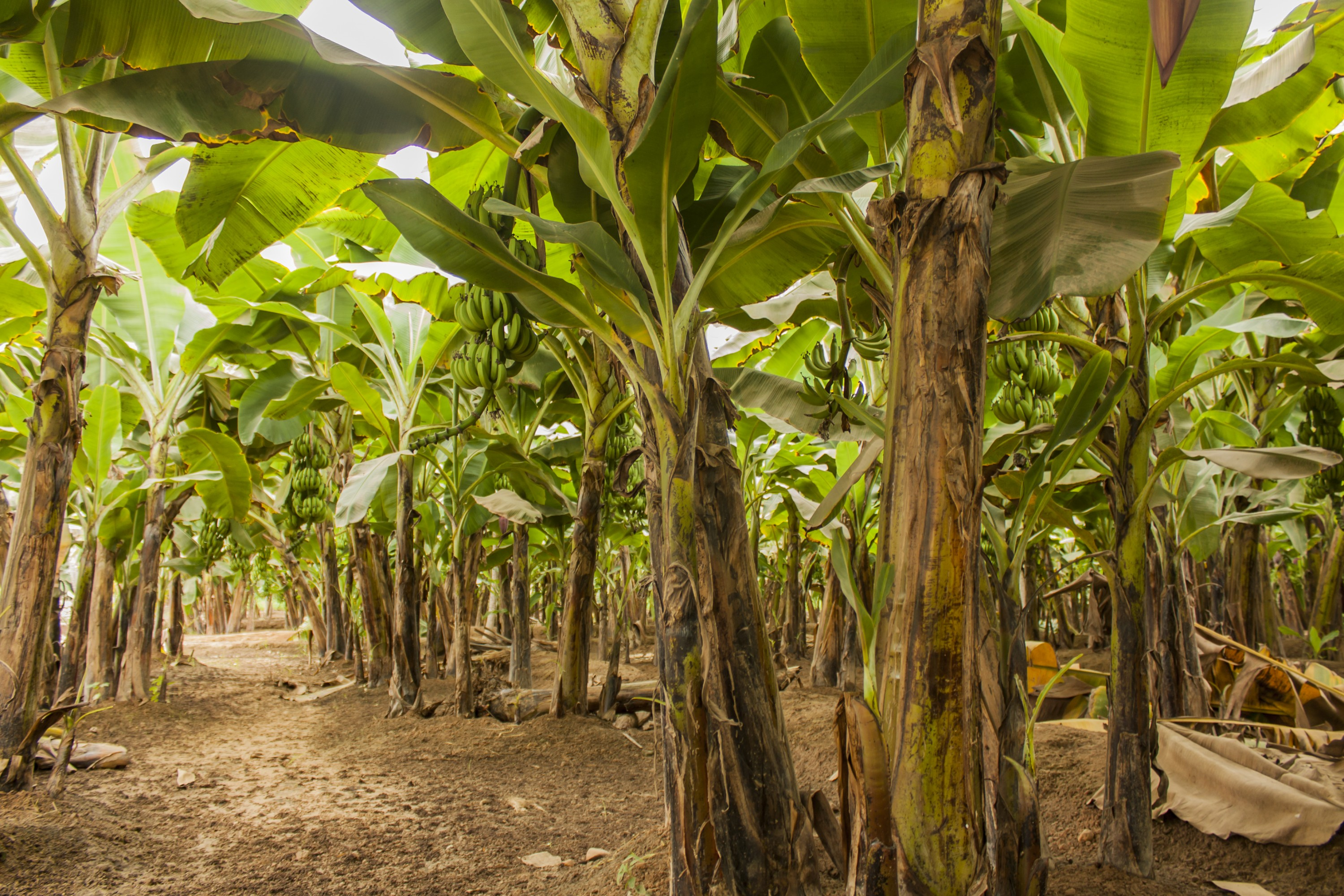 Banana trees in Zimbabwe