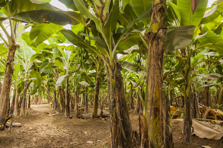 Banana Trees In Zimbabwe