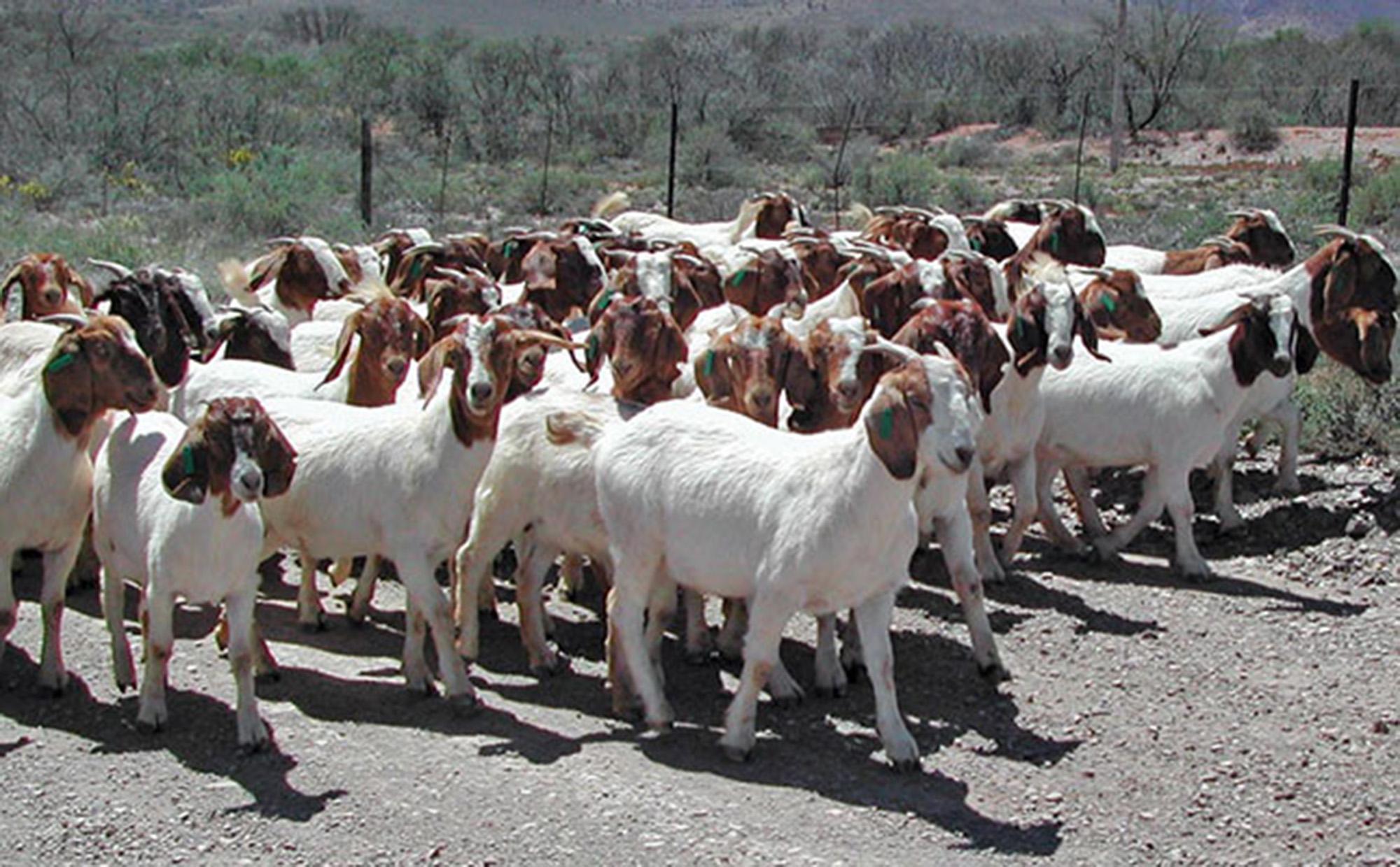 Zimbabwe set to enter goat meat export market - Rosywood
